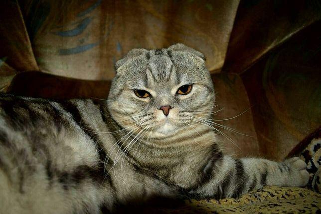 Шотландский кот на вязку (с родословной)