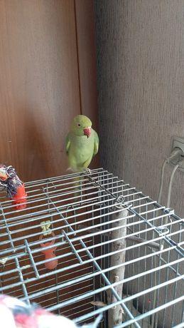 Ожереловый попугай самка 3 года
