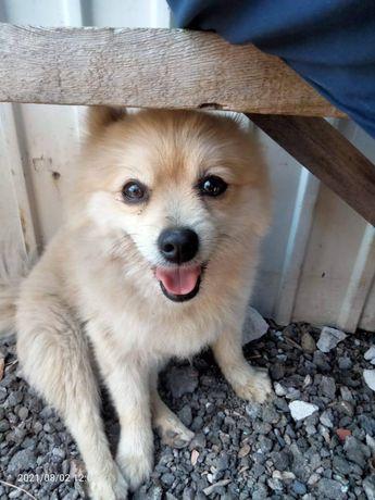 Найдена собака Шпиц