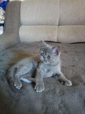 Котёнок экзотической породы