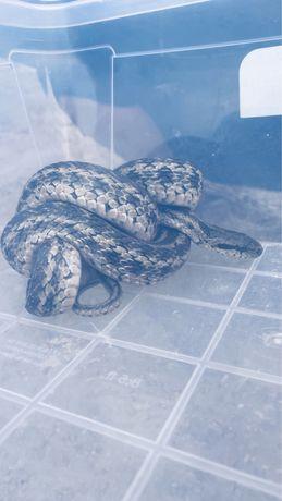 Продам змею и ящерицу.