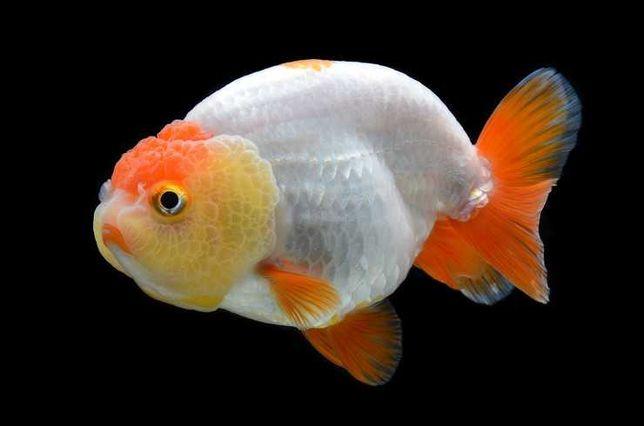 Породистые золотые рыбки в отличном и здоровом состоянии!
