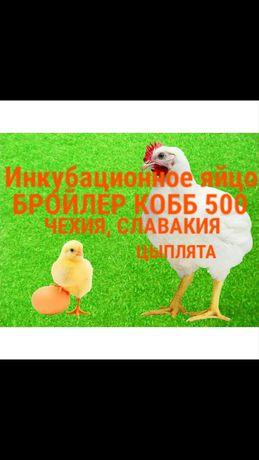 Инкубационное яйцо КОББ 500 на 24.02.21