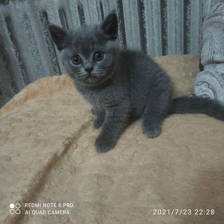 Британские котята кошечки!