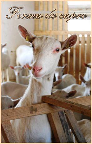 Vindem produse din lapte de capra si iezi de Paste