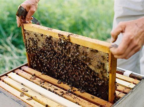 Vând 6 familii de albine cu rame cu tot+ 5 famili de albine în coșniță