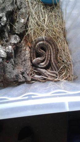 Продам змея