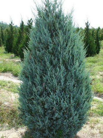 Juniperus scop. Monglow