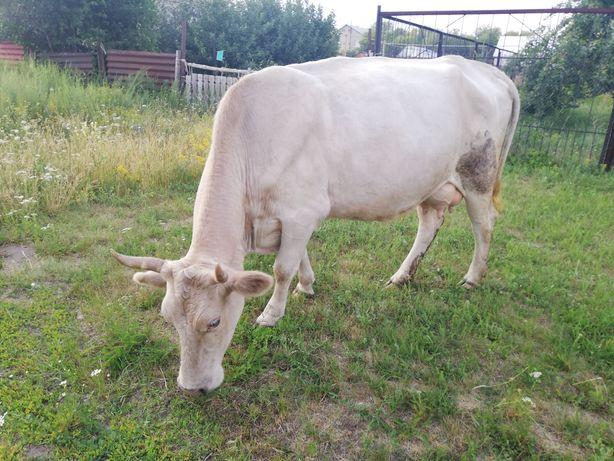 Продам двойных  коров 350-400тыс посёлок Казахстанец