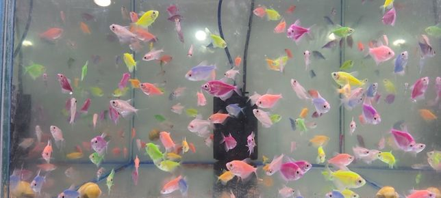 Pești de acvariu Tetra glow.zebre glow