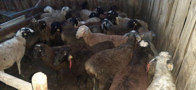Кой сатам Продам овцы