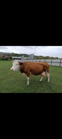 Vand vaca fătată de 4 luni