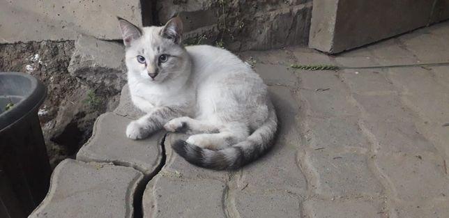 Отдам  котят похожи на сиамских