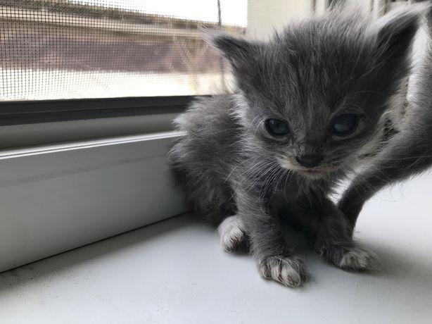 Котятки (шотландские)