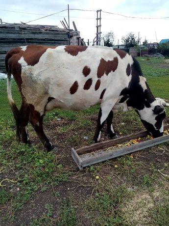 Продам 2х коров.