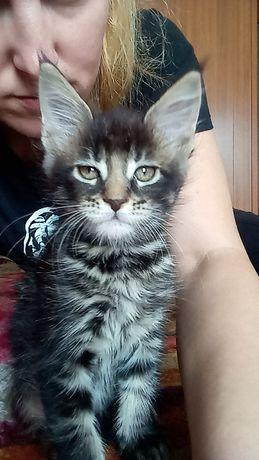 Котенок Мейн Кун, кошечка