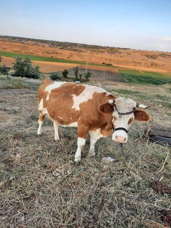 Vand vaca baltata românească