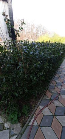 Ligustrum vulgare lemn cainesc