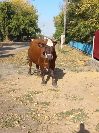 Продается отличная, стельная корова
