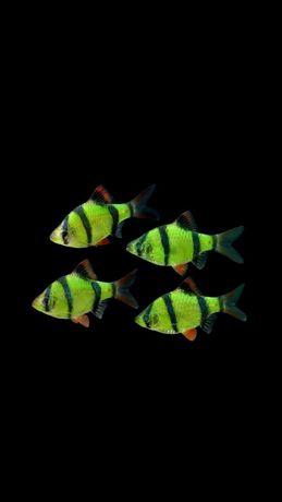 Рыбкибарбус