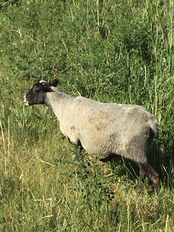 Племенные романовские овцы