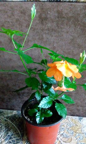 Кроссандра, молодое растение.