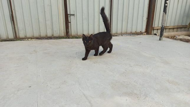 Черный кот бесплатно
