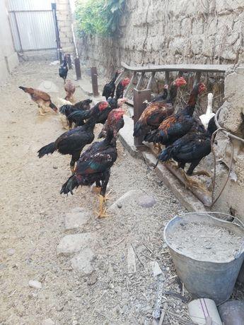 Бойцовые цыплята хороших кровей