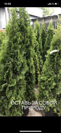 Туя смарагд из Европы! Высший сорт, туя, елки, фасадные, оптом и в роз
