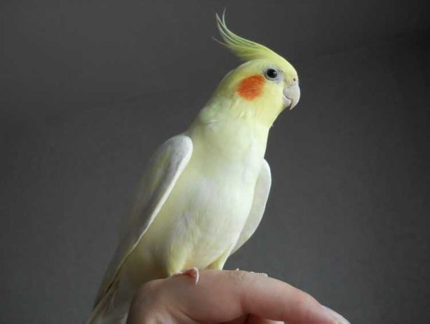 Попугай Корелла продам
