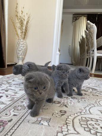 Шотладнские котята