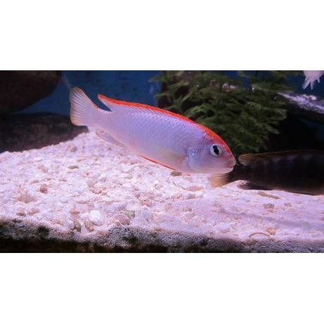 Рибки Африкански цихлиди