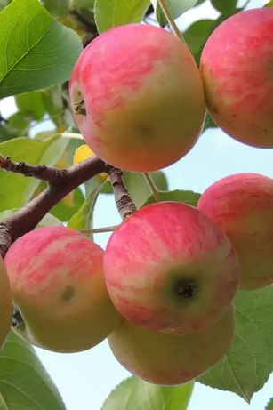 Продам яблочки ароматные