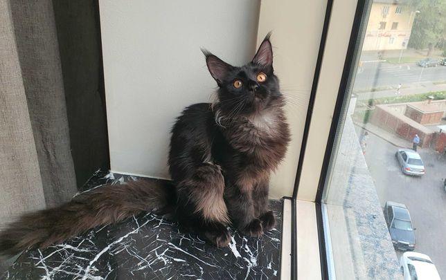 Котенок мейн-кун, девочка, 5 месяцев