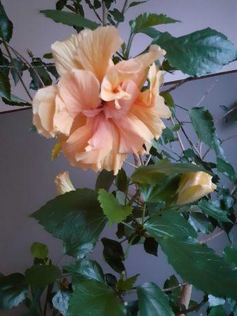 Trandafir japonez/chinezesc