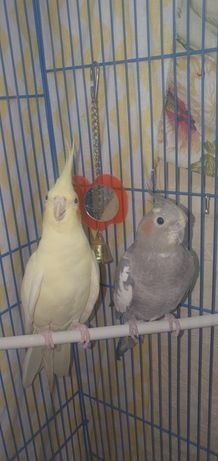 Продам 2 попугая корелла и 1 волнистого попугая