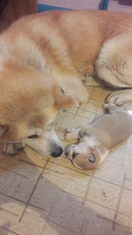 Чистокровный щенок Акита Ину