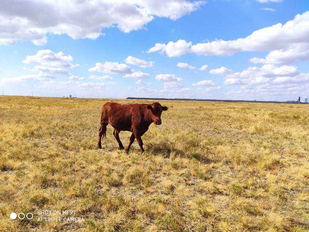 Продам быка и телку 2.5 года