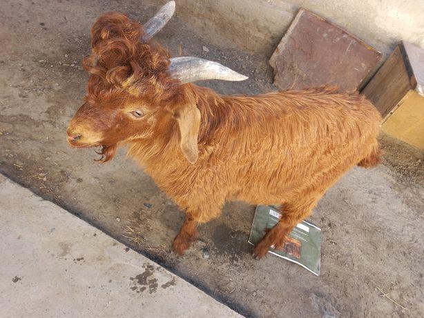 Продам козы каждая по 20тыс
