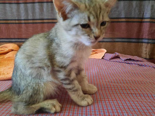 Котенок - британец  за 15 тысяч тенге