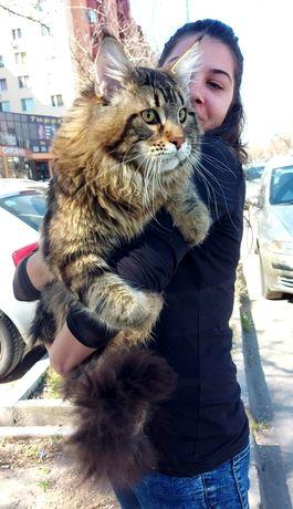 Мейнкуун котенца