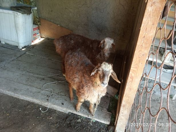 Продам барашек козы сатылады