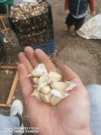 Sămânță de usturoi românesc Copalau