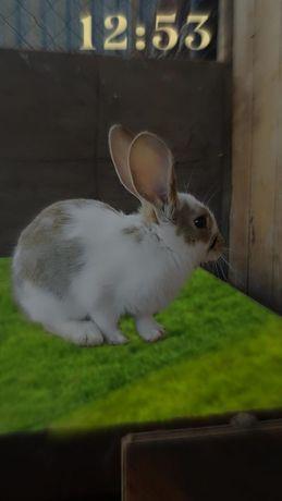 Крольчата полтора месяца, помесь фландер и бабочка, французский баран