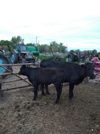 Продам телку с теленком