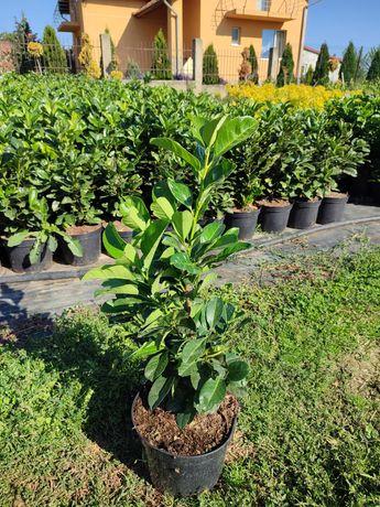 Laur englezesc 60-80cm (Prunus Laurocerasus)