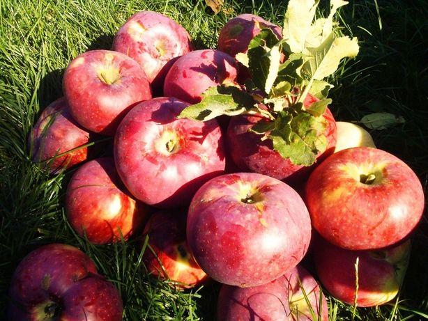 продам саженцы яблонь.