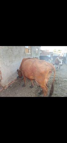 Срочно продаются коровы,телки стельные и бык