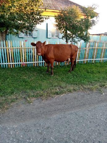 Продам корову на выбор
