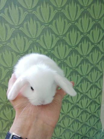 Декоративный кролик домашнего разведения.
